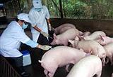 Ngành thú y chủ động tiêm phòng dịch bệnh cho đàn gia súc, gia cầm