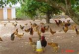 Hiệu quả Câu lạc bộ chăn nuôi gà thả vườn an toàn sinh học Thanh Bình