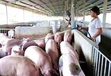 Nguyên tắc phòng bệnh trong chăn nuôi heo