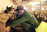 Nông dân thu 40 triệu đồng/tháng từ nuôi gà đẻ trứng