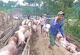 Trung Quốc đồng ý mua heo của Việt Nam