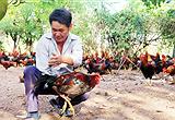 Làm giàu ở nông thôn: Nuôi gà trống thiến bán Tết, lãi 80 triệu/lứa